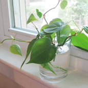 Growing Plants From Clippings