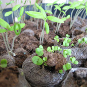 Planting Herbs From Seeds