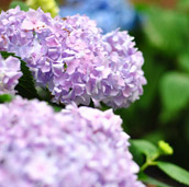 Adding (More) Hydrangeas
