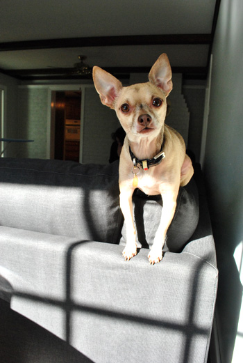 chihuahua sitting atop ikea sectional sofa Karlstad in sunlight