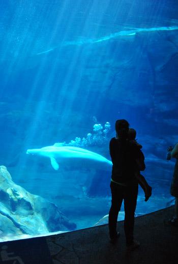 georgia aquarium beluga whales