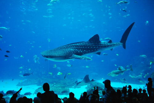 georgia aquariums whale shark tank